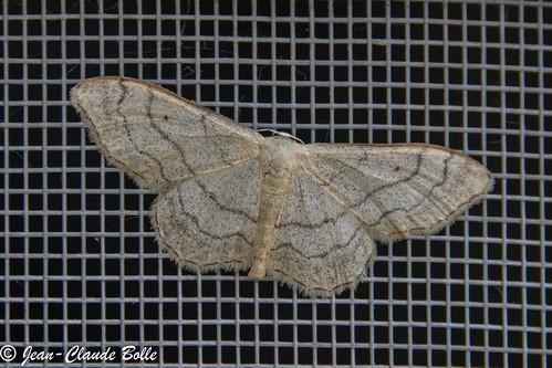 Idaea aversata - Impolie, Acidalie détournée