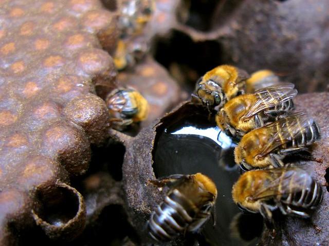 Abelhas sem ferrão estão entre as espécies ameaçadas por novo agrotóxico liberado  - Créditos: Instituto Biológico de São Paulo