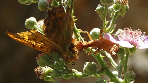 Argynnis sp. i Ameles spallanzania