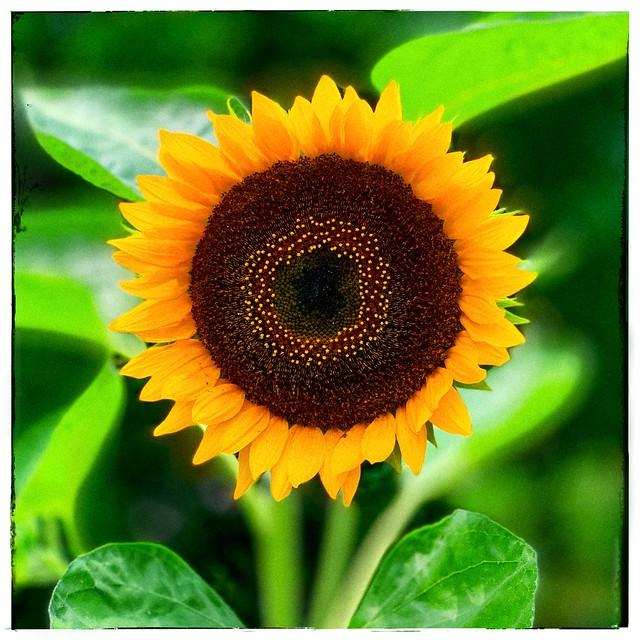 Photo:sunflower By idua_japan