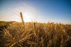Golden wheat before the harvest with the setting sun in the background