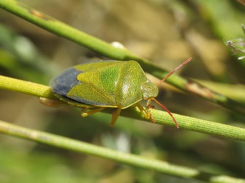 Piezodorus lituratus (Gorse Shieldbug) (Pentatomidae - (Shieldbugs)