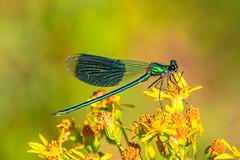 Insekten - Libellen