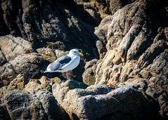 Sea Gull on the Rocks