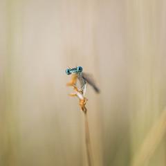 Demoiselles et libellules