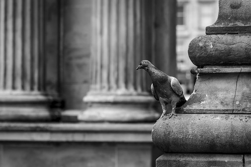 The Curious Case of the Inquisitive Pigeon
