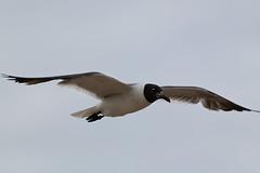 Black-capped gull