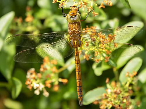 Vroege Glazenmaker-Green-eyed Hawker (Aeshna isoceles)
