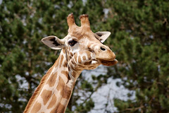 Girafe - Photo of Saint-Jean-le-Blanc