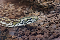 Python molure de Birmanie