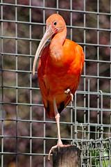 Ibis rouge - Photo of Saint-Jean-le-Blanc