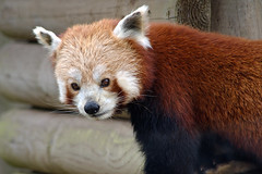 Panda roux - Photo of Longvillers