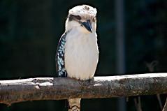 Kookaburra - Photo of Saint-Jean-le-Blanc