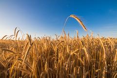Weizenfeld und tiefblauer Himmel