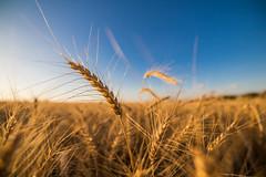 Goldfarbener Weizen wenige Tage vor der Ernte