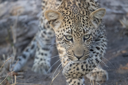one of the most gorgeous leopard cubs in the world cautiously moves through the bundu while waiting for her mother, Tiyani, to return. Elephant Plains Game Lodge, Sabi Sand Game Reserve, Kruger National Park, South Africa