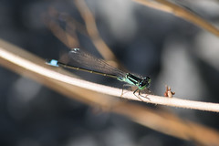 Blue-tailed Damselfly / Ischnura elegans