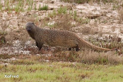 Sacarrabos / Egyptian Mongoose / Herpestes ichneumon