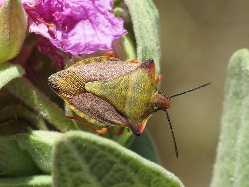 Carpocoris mediterraneus (Pentatomidae - Shieldbugs)