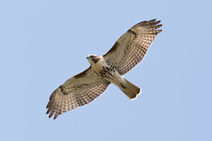 Red tailed hawk soaring