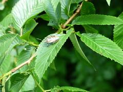 aubterre beetle