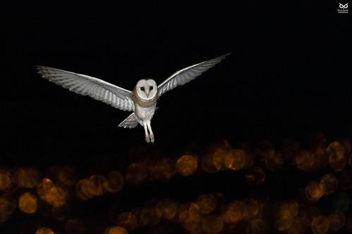 Coruja-das-torres, Barn Owl (Tyto alba)