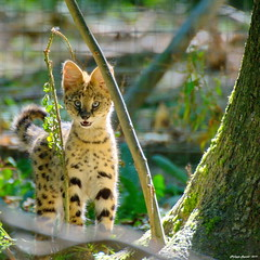 Serval - Photo of Faremoutiers