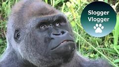 "Silverback Gorilla Gets A Real Taste For Leaves On The ""Greener"" Side"