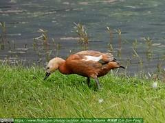 瀆鳧〔黃麻鴨,赤麻鴨〕 (Tadorna ferruginea#Ruddy Shelduck)