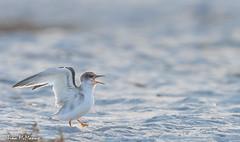 Image by NorthShoreTina (northshoretina) and image name Early morning Juvenile Least Tern photo