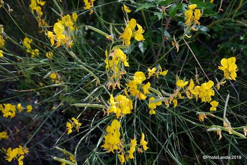 Gayomba - Spartium junceum L.