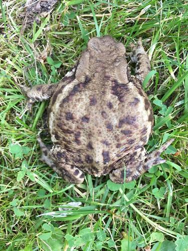Erdkröte (Bufo bufo) (1)