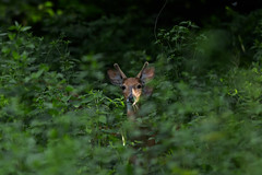 Young White-Tailed Deer buck in the evening