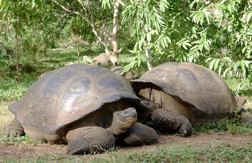 Giant tortoise meeting