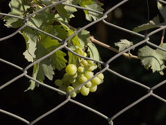 Grapes behind Fence