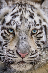 Very close portrait of one of the tigresses