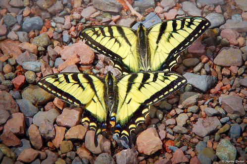 Swallowtails on the Rocks