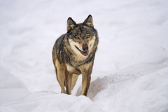 Wolf posing in the snow