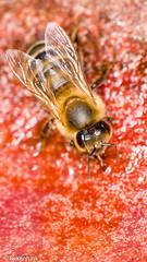 Bienen Macro