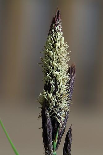 Carex riparia, Ufer-Segge, m, Pollen
