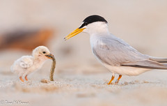 Image by NorthShoreTina (northshoretina) and image name Least Tern and chick photo  about Baby tried valiantly to get it down, but couldn't. The parent eventually came back with a smaller fish.
