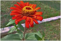 Zinia _orange_mobile photography!