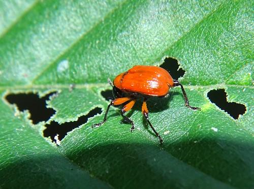 Haselblattroller (Apoderus coryli) (2)