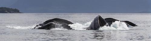 Humpback Whales - Bubble Net Feeding