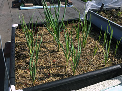 Image by Johanne Daoust (johanne_daoust) and image name UR Garlic in Fabric grow bed June 3 photo
