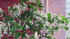 Image by Johanne Daoust (johanne_daoust) and image name Sour Cherry Bloosoms 2019 Porch photo  about