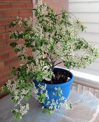 Image by Johanne Daoust (johanne_daoust) and image name Sour Cherry Bloosoms 2019 Porch photo  about Blooming in April in insulated porch.