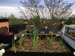 Image by Johanne Daoust (johanne_daoust) and image name UR Garlic on roof 2019 photo  about Growing in a fabric grow bed