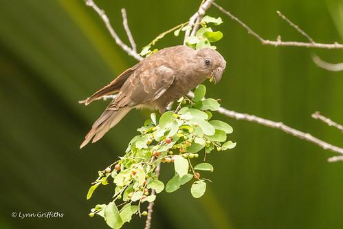 Seychelles Black Parrot - Status - threatened D85_8165.jpg