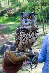 ZOO Olomouc - Eurasian Eagle-owl (Bubo bubo)